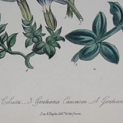 Set of Five 19th Century English Floral Botanical Prints