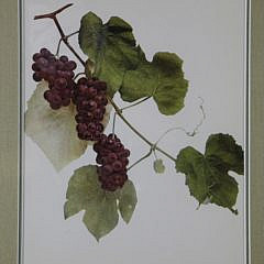 "Set of Nine Vintage Framed, ""Grapes of New York"" Prints"