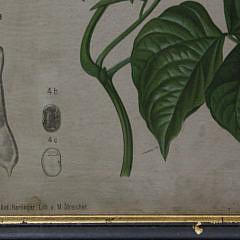 Botanical Specimens Framed Chromolithograph
