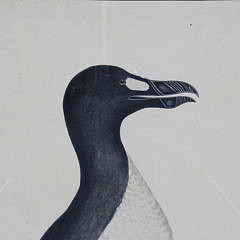 "Prideaux John Selby 19th Century Color Engraving, ""Great Auk"", Plate LXXXII, circa 1830"